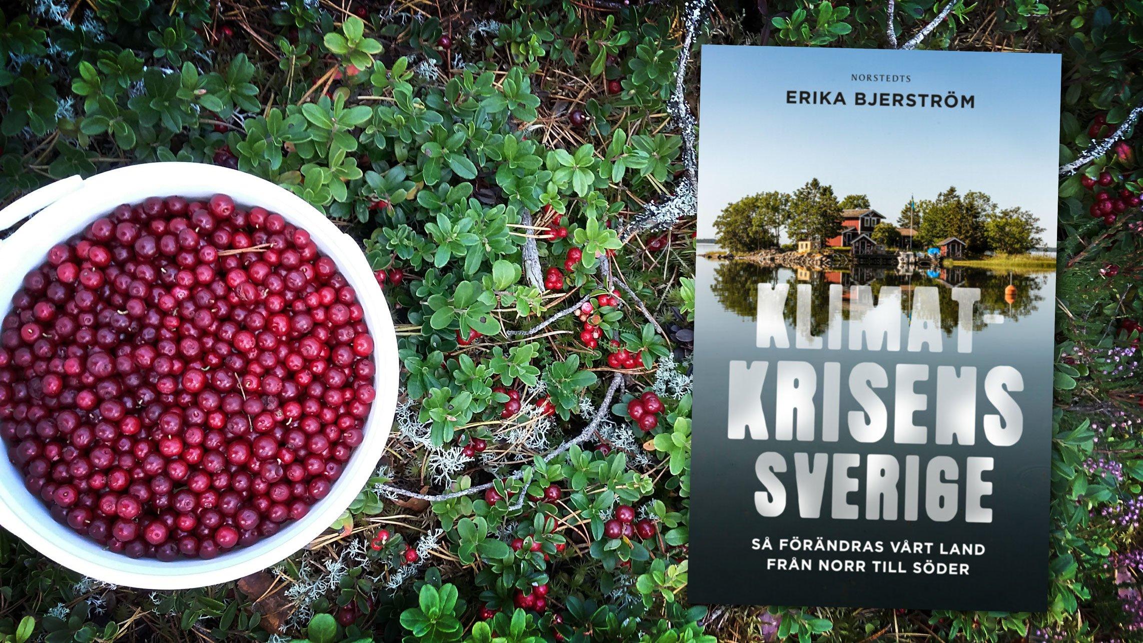 lingonris och boken Klimatkrisens Sverige